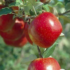 Fruta Manzana Verde-Yummy 5 cinco un día divertido Colgantes Pendientes en Caja Hecho a Mano