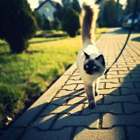 Oaza Spokoju*PL hodowla kotów Ragdoll z dolnego śląska