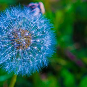 The Dandelion Company Mindful Life - Tenacious Living