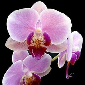 ANGELINA ORCHID
