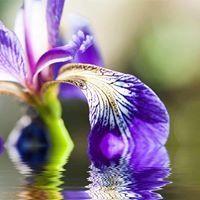 Iris Nobile
