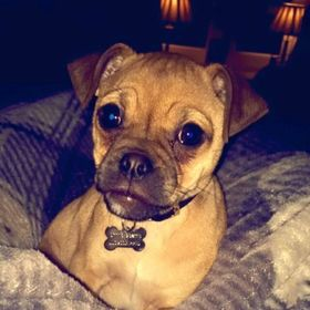 Beautiful Cuby Chubby Adorable Dog - 4f1ff41b06e24957683a5a0f98e2c1c5  Gallery_478996  .jpg