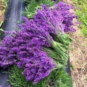 Lavender Backyard Garden New Zealand