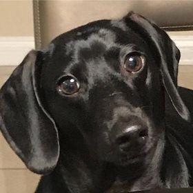Mini Weenie Dogs