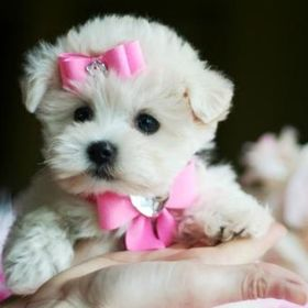 Puppies For Sale Site.com