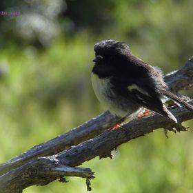 Fledglings NZ