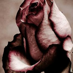 Thorn rose