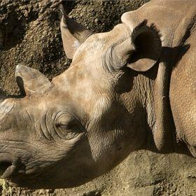 Antonis Rhino
