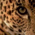 Leopard Studio21