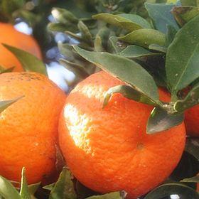 Appelsiineja ja Hunajaa
