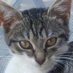Mačka Huskyova