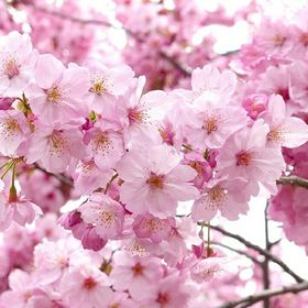 Sakura Masal