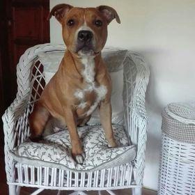 BULLTERRIER Vintage Holzschild Shabby Geschenk Hund Dog Oldschool