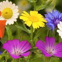 Gülser Kırçiçeği
