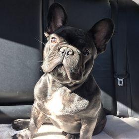 french bulldog — Buddy