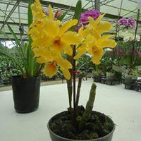 Ria Orchidea