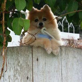 I love boston terriers cute pet-bavoir bébé