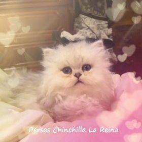 La Reina Persas Chinchilla