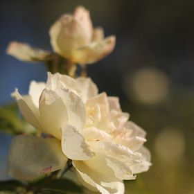 Two Roses Photography