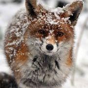 Fox Wink