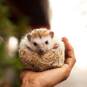 Hedgehogger