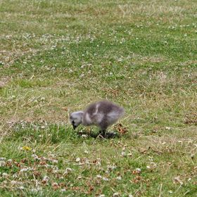 The Hungry Gosling