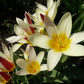 bello tulip
