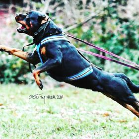 Rottweilersinschutzhund