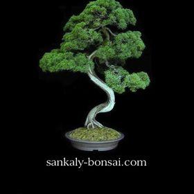 Sankaly Bonsaï