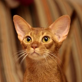 Abyssinian.at