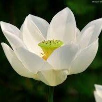 T. Lotus