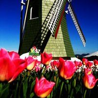 Tulips.com - RoozenGaarde