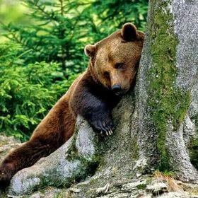Grăsime de urs varicos