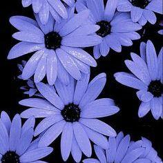 Sinai Lily