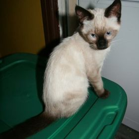 Siamese Cat Spot
