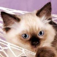 Kočička Ragdoll