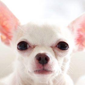 Anonymous Chihuahua