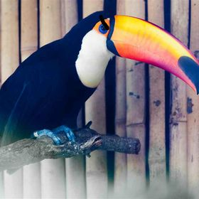 Angry Toucan