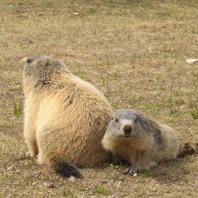 Marmotte 132