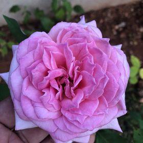 Zoanelle Rose 🥰