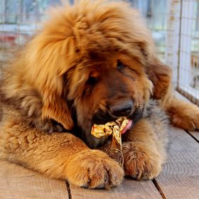 Tibetan Mastiff for you