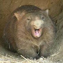 Wombat (͡°͜ʖ͡°)