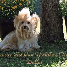 Exquisite Yorkshire Terrier & pastimesdecor.com