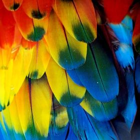 4 to 5 inches Mostly Yellow Matched Pair Yellow Red /& Blue Scarlet Macaw Feathers
