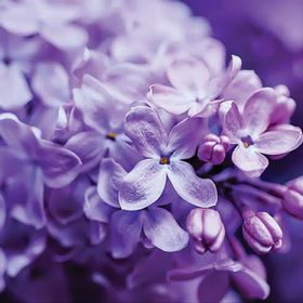 Lilac Lily