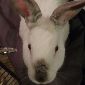 Rabbitlvr