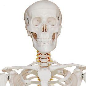 Skelett Modell
