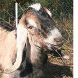 Anglonubian Goats Gospodarstwo Żurawisko