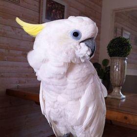 Vivi Parrot