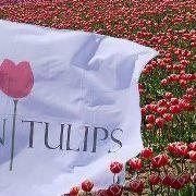 Dulban Tulipanes